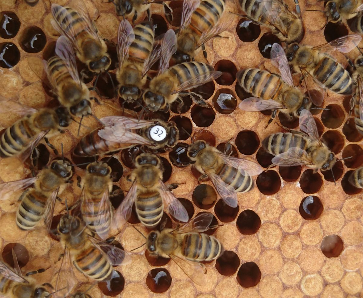The result of bee breeding - Instrumentally Inseminated queen number 32, produced by bee farmer Luke